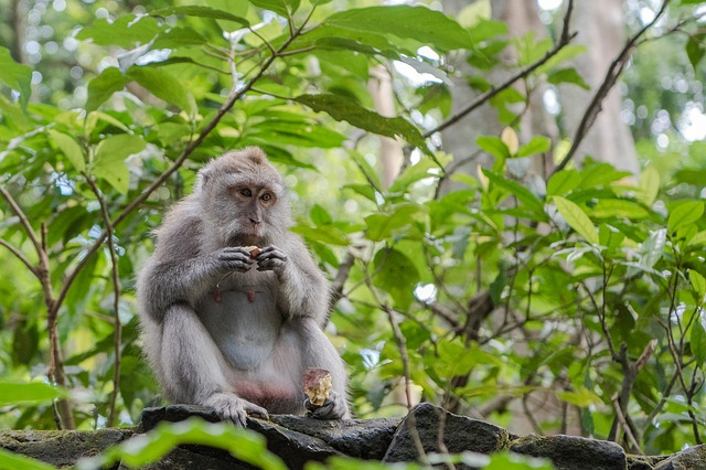 Balinese long tailed macaque 3541057 640