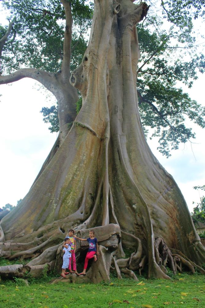 Banyan tree bali
