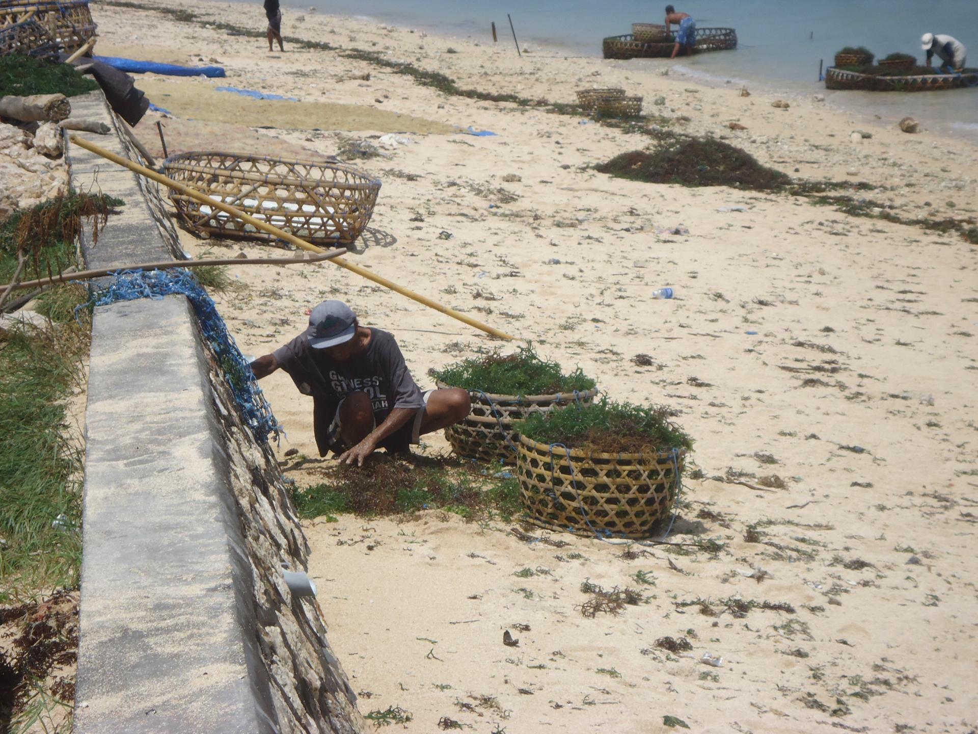 algues nusa lembongan