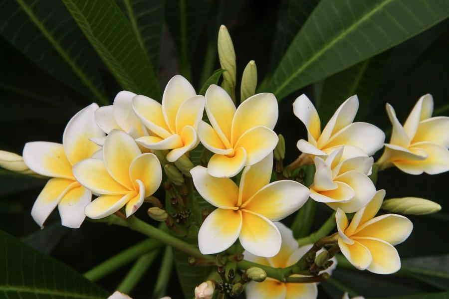 La Fleur De Frangipanier Un Emblème De Bali